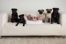 newborn with pugs dogs unique photography